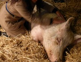 Varkens masseren en stieren knuffelen