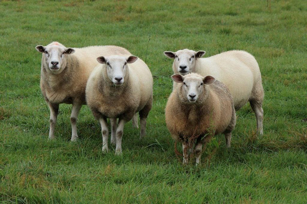 Over veganisme en wol